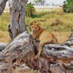 lion-277328_960_720