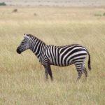 zebra-1046261_960_720