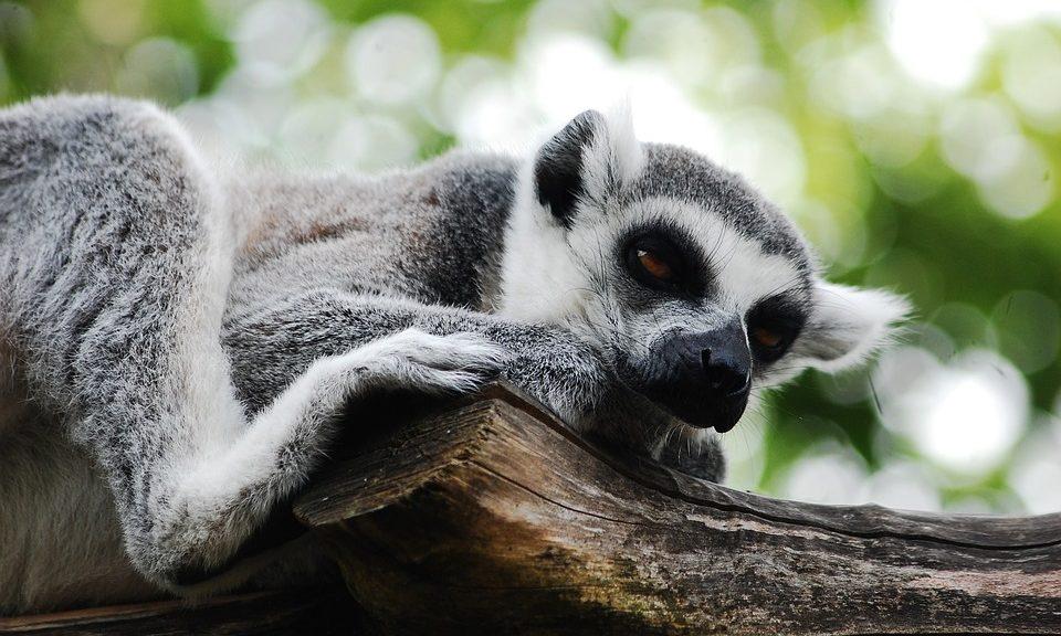 lemur-2384049_960_720