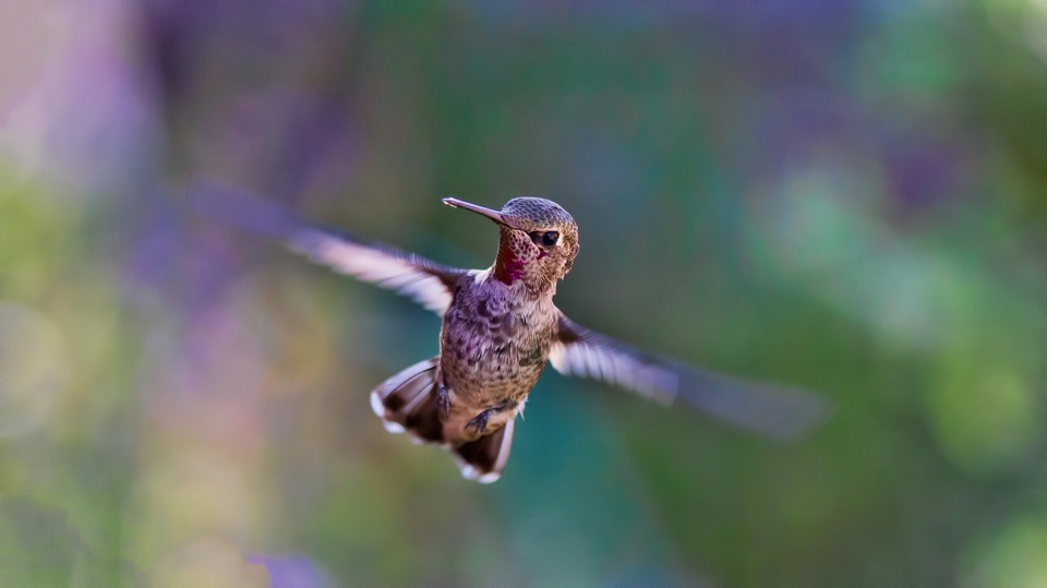 hummingbird-691483_960_720